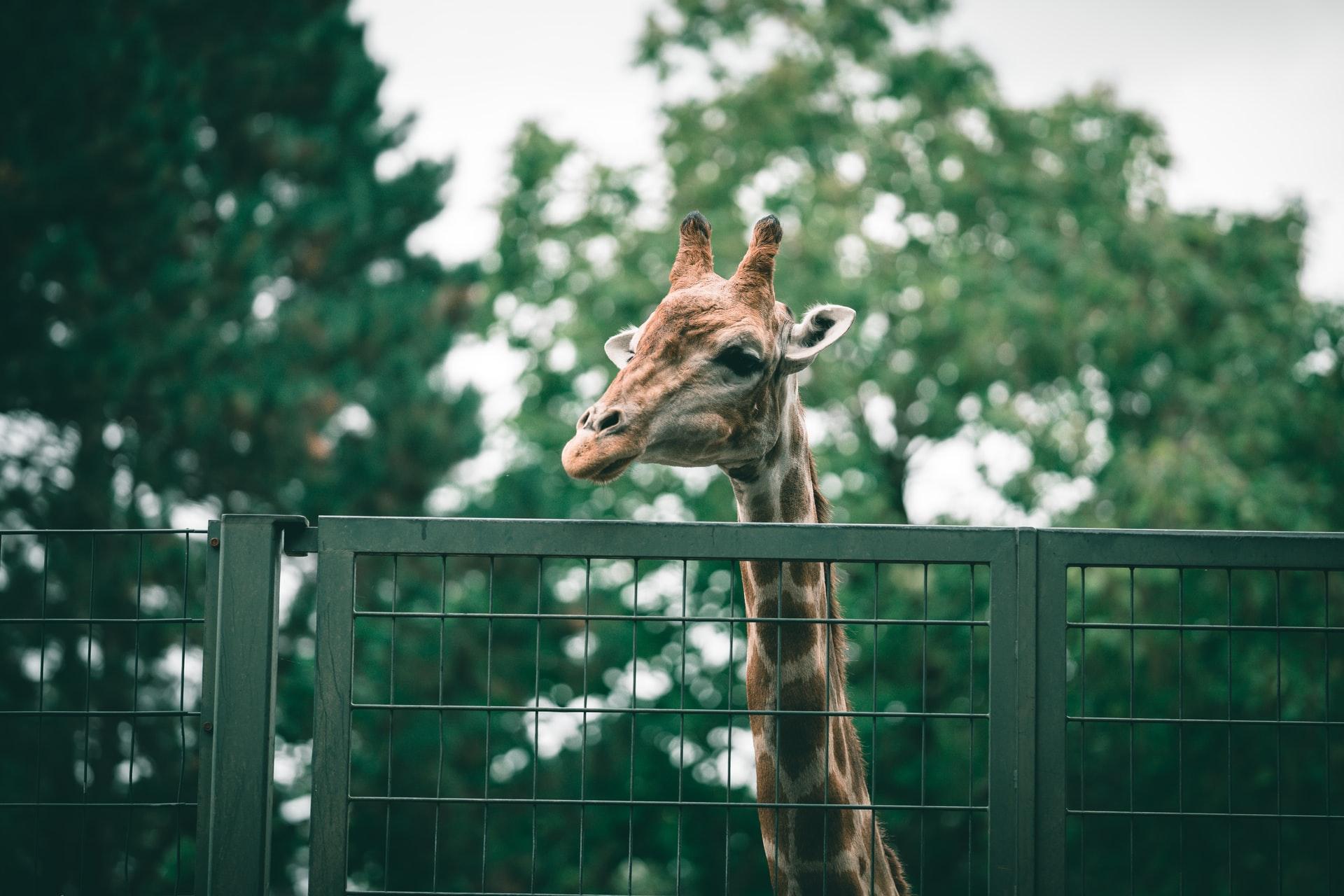Girafa no zoológico